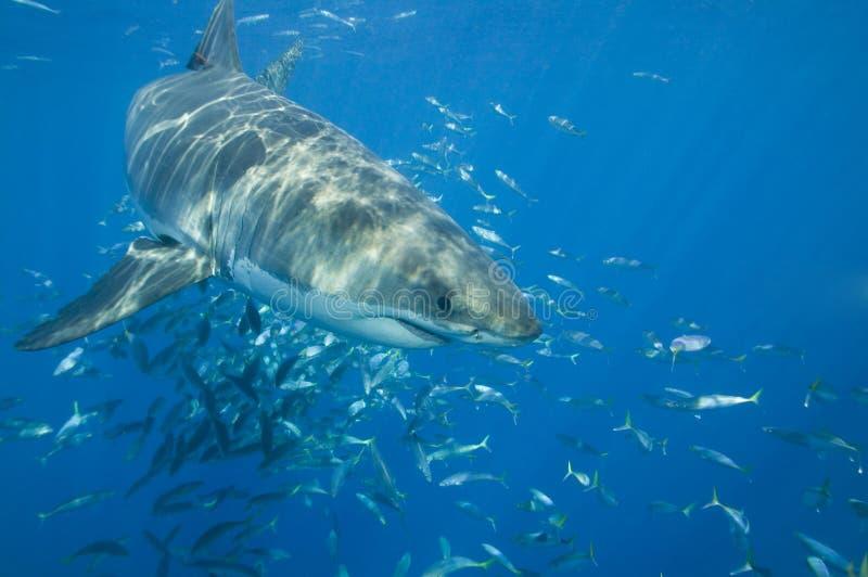 Requin blanc grand