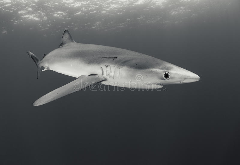 Requin bleu photos stock