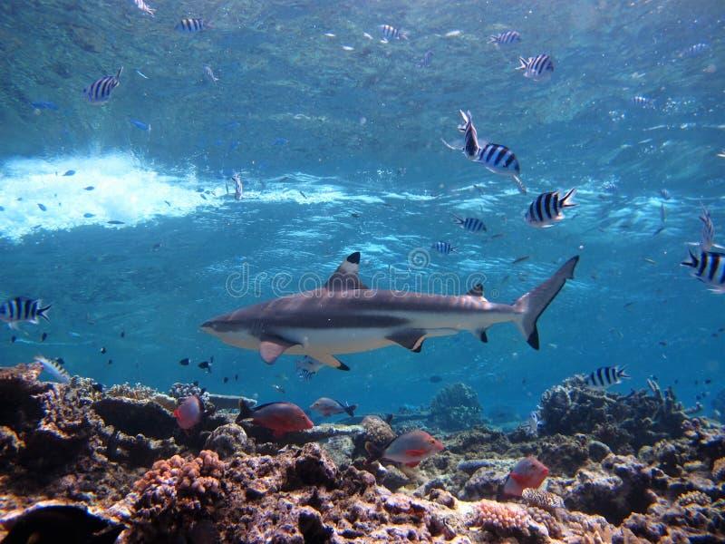 Requin croisant au-dessus du récif coralien photos libres de droits