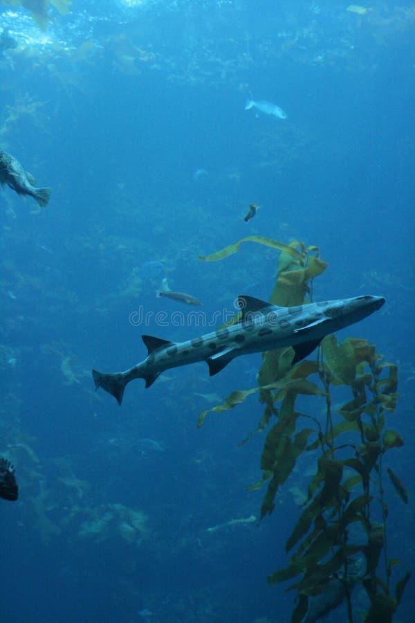 Download Requin dans Monterey image stock. Image du marin, océan - 2149875