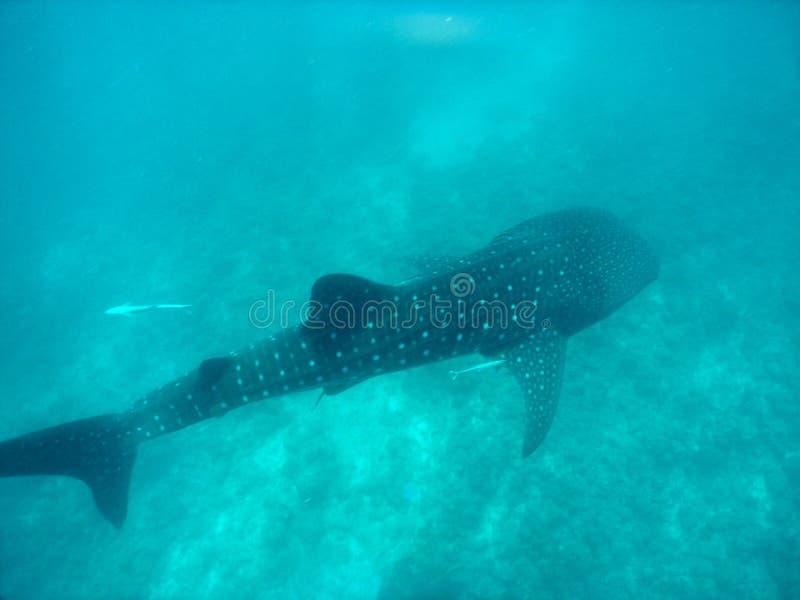 Requin de baleine photo stock