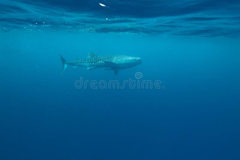 Requin de baleine photo libre de droits