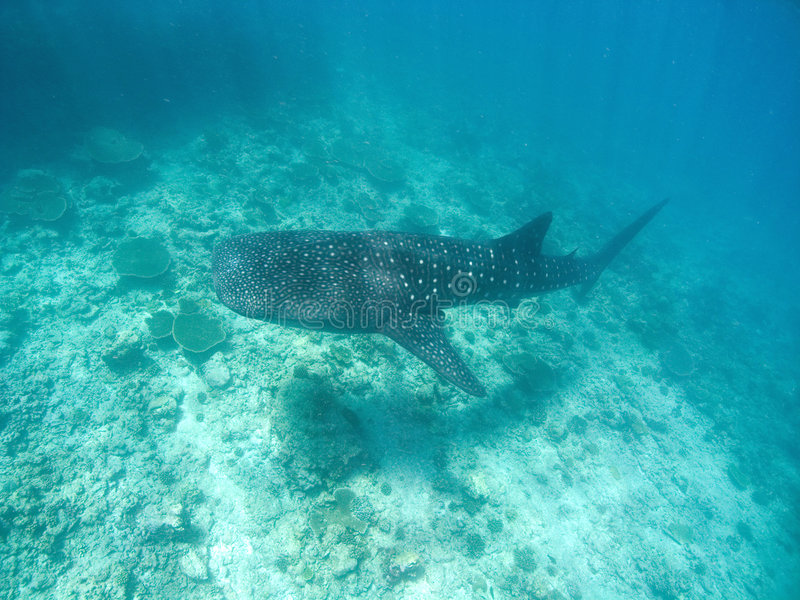 Requin de baleine image stock