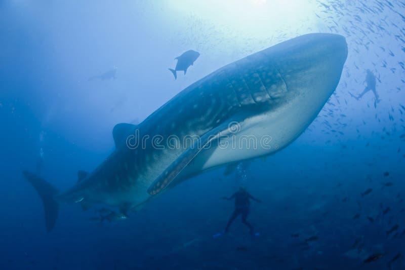 Requin de baleine avec des plongeurs images libres de droits