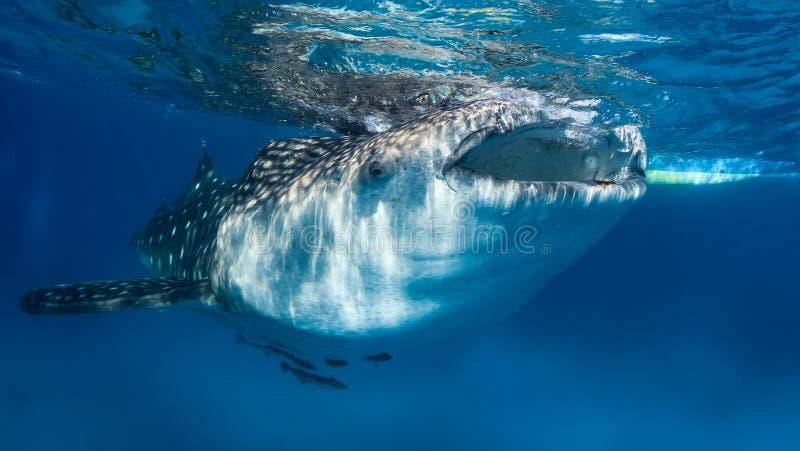 Requin de baleine sur la surface images libres de droits