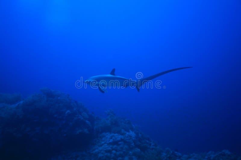 Requin de batteuse images stock