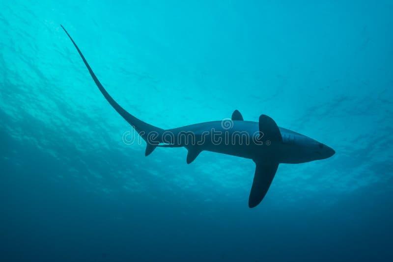 Requin de batteuse photo stock