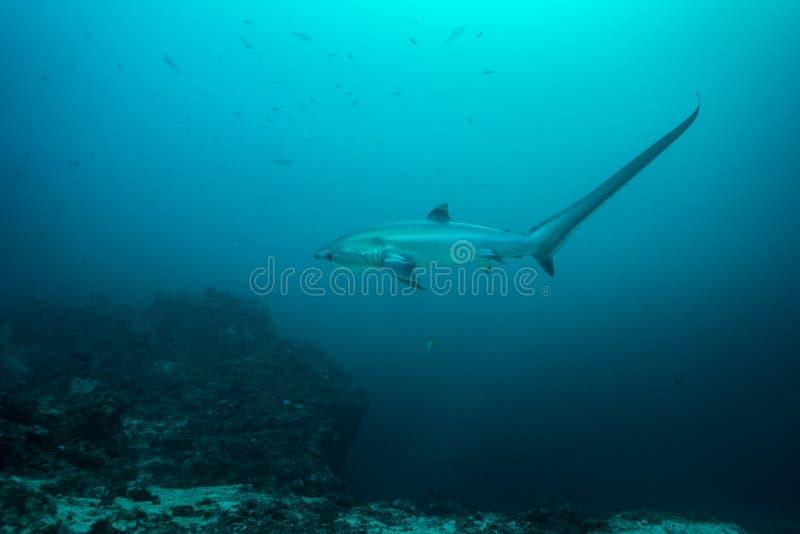 Requin de batteuse photographie stock