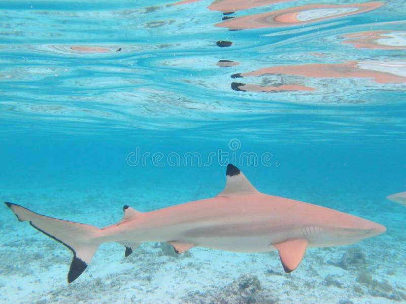 Requin de Blacktip photographie stock