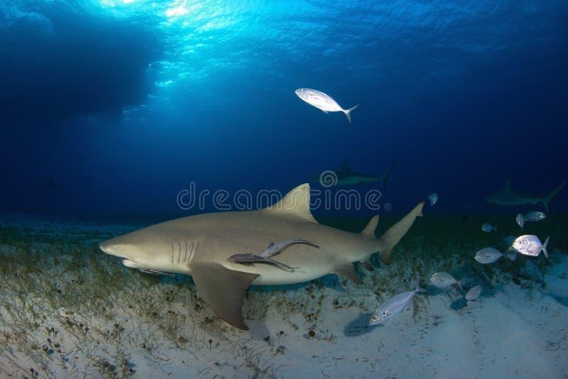 Requin de citron image stock