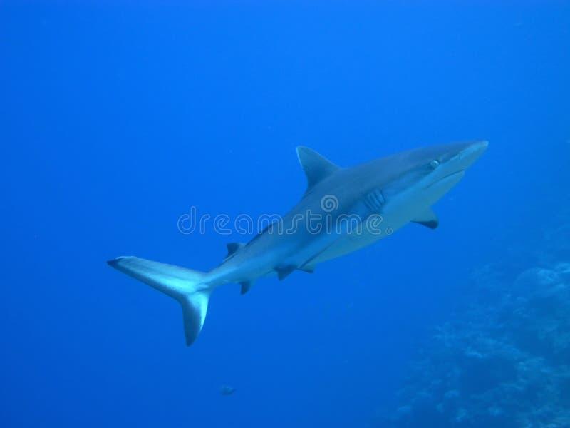 Requin de croisière contre l'eau bleue photos stock