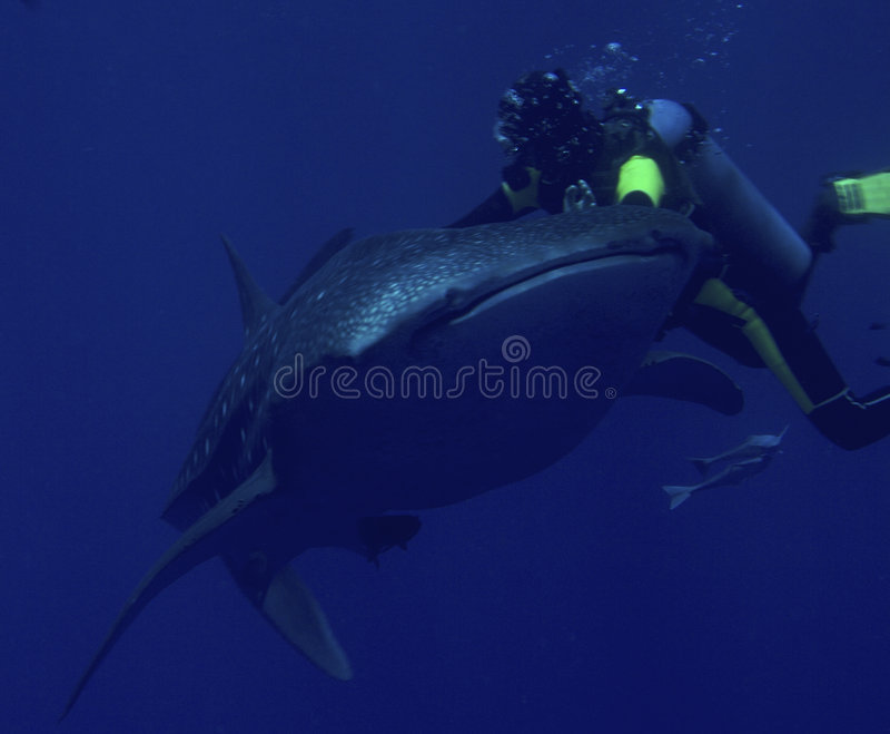 Requin de plongeur et de baleine image stock