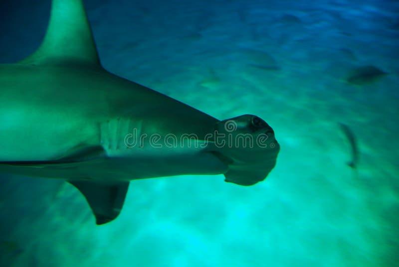 Requin de poisson-marteau images stock