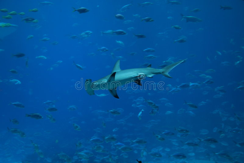 Requin de poisson-marteau image stock