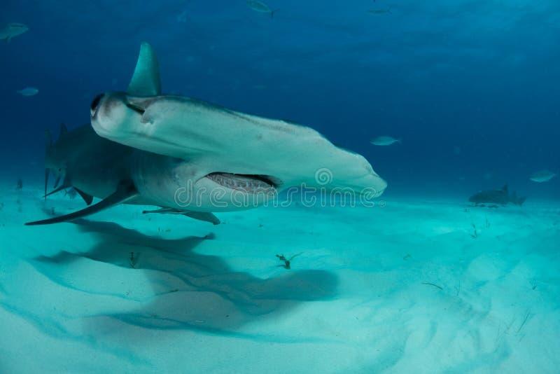 requin de poisson-marteau en Bahamas photographie stock libre de droits