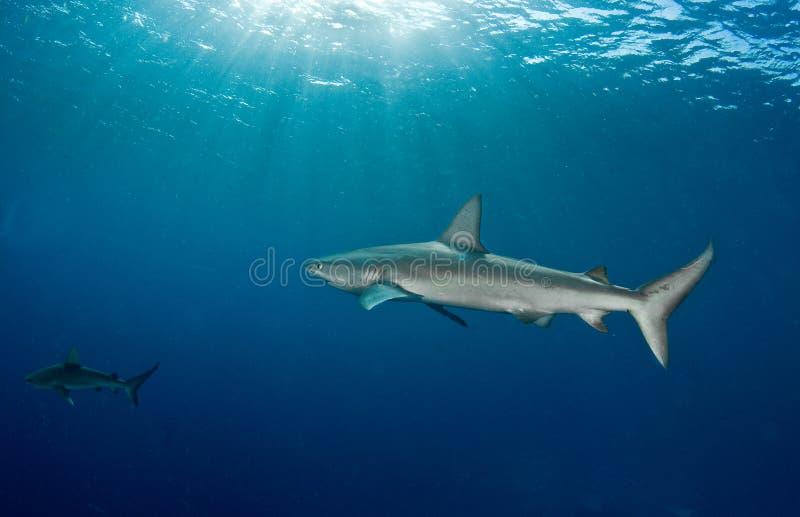 Requin de quelques Galapagos photo stock