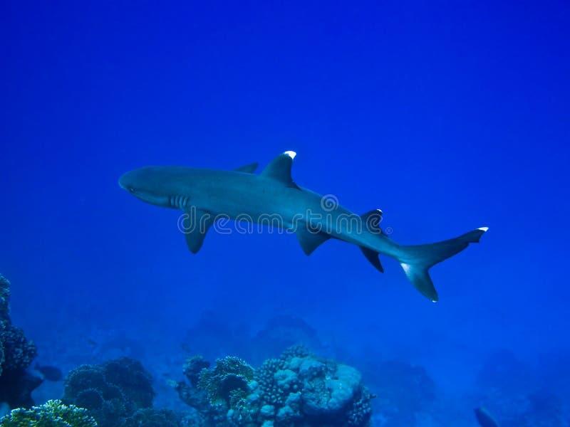 Requin de récif photo libre de droits