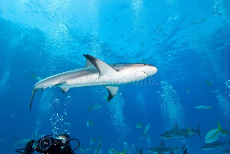 Requin de récif dans les Caraïbe photographie stock