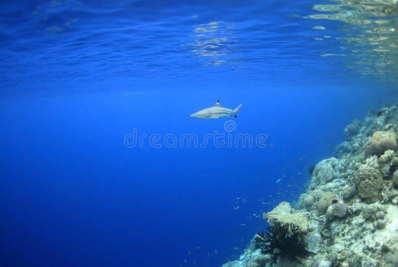 Requin de récif de Blacktip photos libres de droits