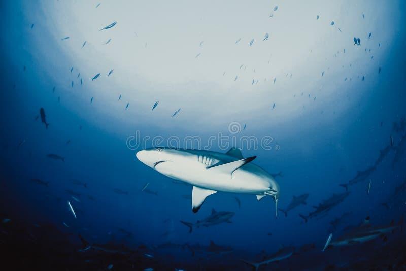 Requin de r?cif de Blacktip photo libre de droits