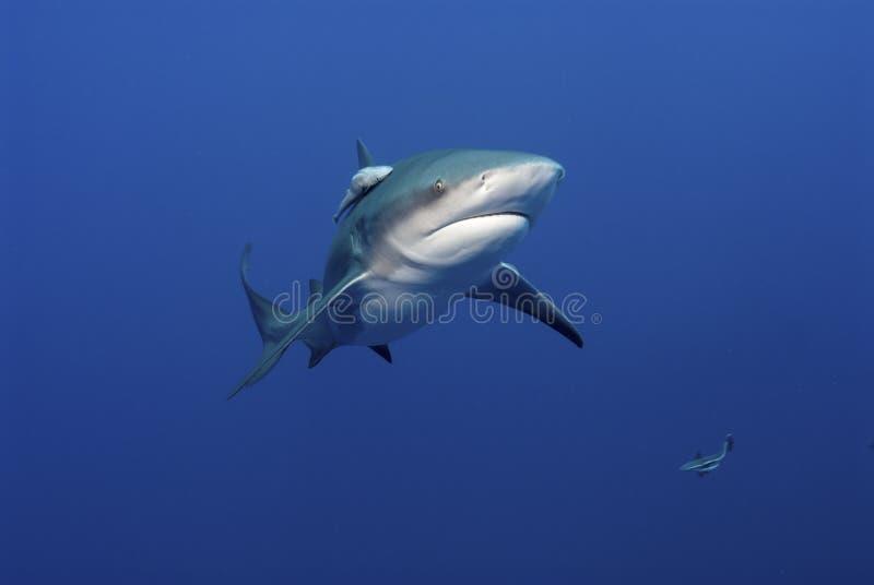 Requin de taureau Glaring images stock