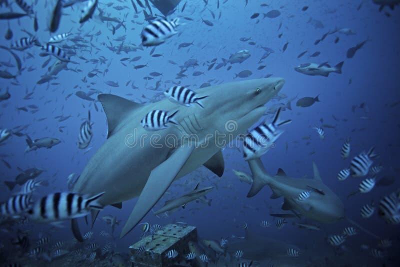 requin de taureau, leucas de carcharhinus, lagune de Beqa, Fidji photographie stock libre de droits