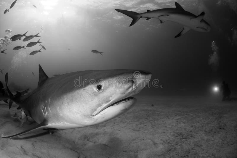 Requin de tigre Bahamas images libres de droits