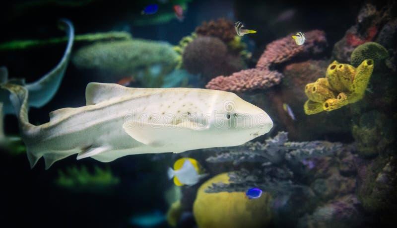 Requin de zèbre images libres de droits