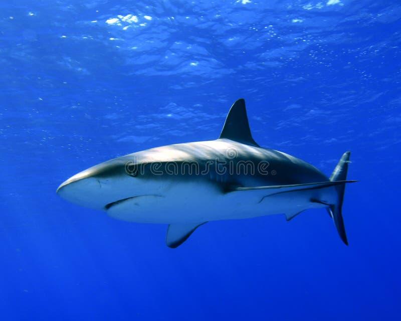 Requin des Caraïbes de récif image stock