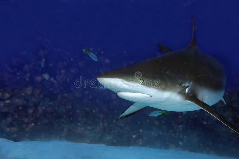 Requin des Caraïbes de récif photos stock