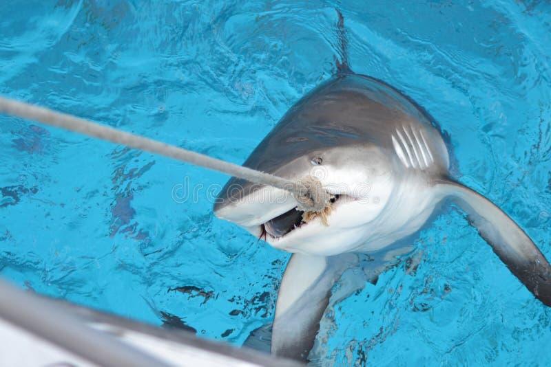 Requin des Caraïbes de récif photos libres de droits