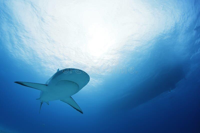 Requin des Cara?bes de r?cif photo libre de droits