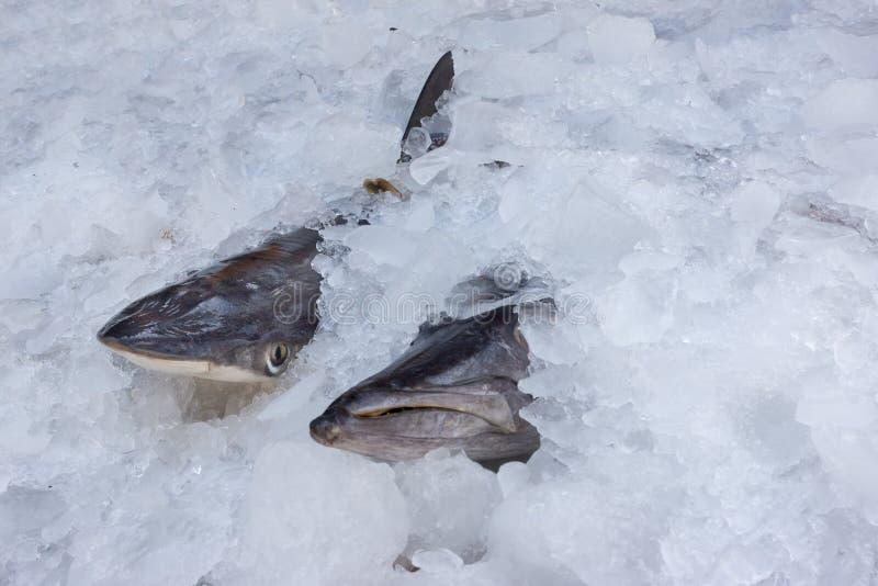 Requin frais dans la glace image stock