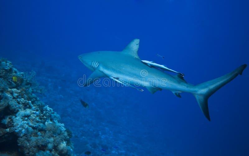 Requin gris de récif images libres de droits