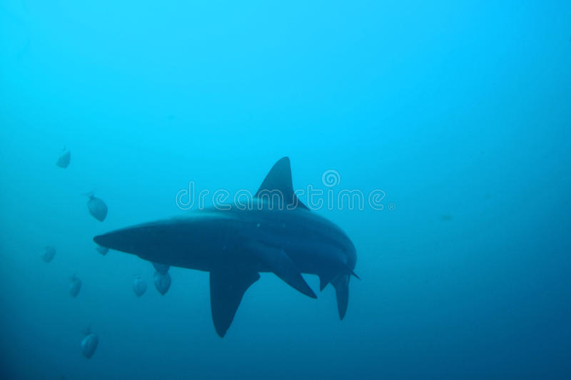 Requin océanique image stock
