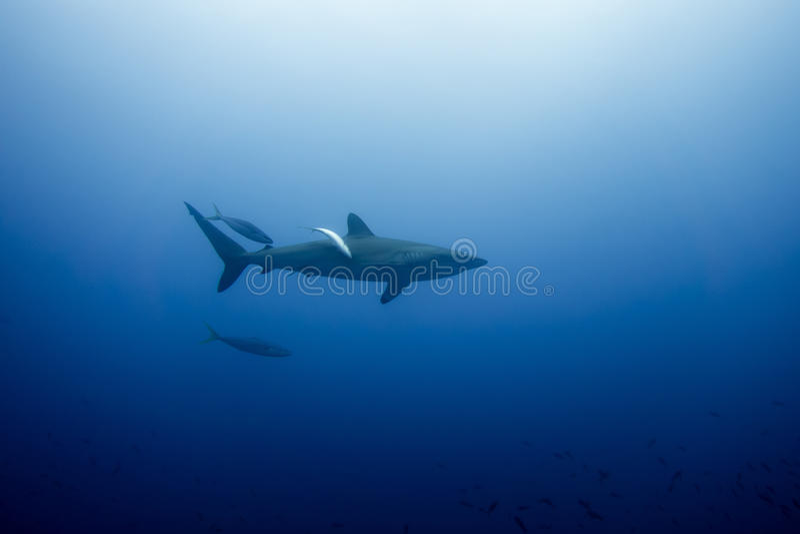 Requin soyeux Malpelo photographie stock