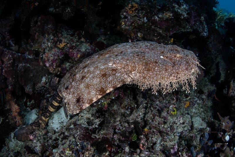 Requin Tasseled de wobbegong image stock