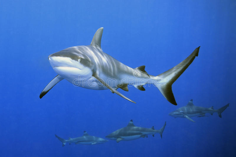 Requins photos stock