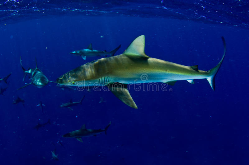 Requins ! photos stock