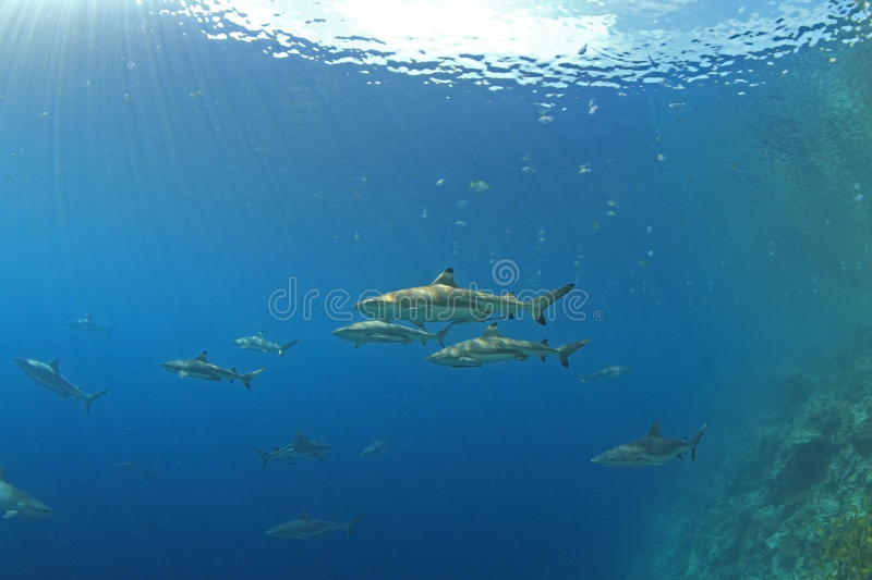 Requins photographie stock