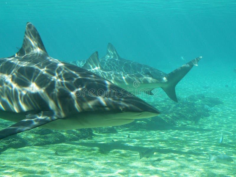 Requins dans le peu profond images libres de droits