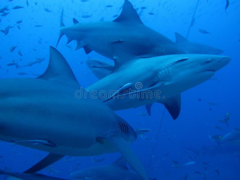 Requins de croisière contre l'eau bleue photos stock