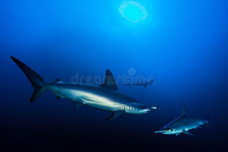 Requins de poisson-marteau crantés images libres de droits
