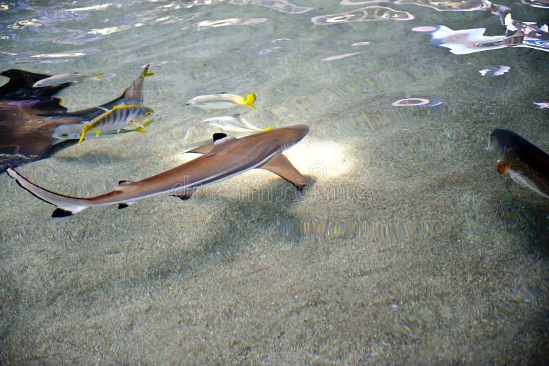 Requins de récif nageant photos libres de droits