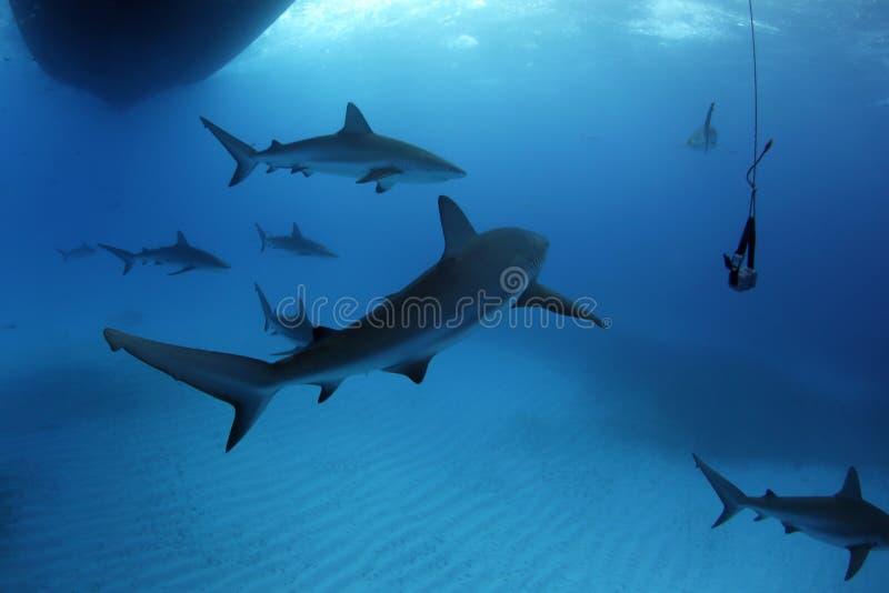 Requins des Cara?bes de r?cif images libres de droits