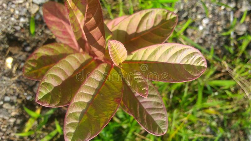 Rered baby guava fruit in the morning side, wallpaper royalty free stock photos