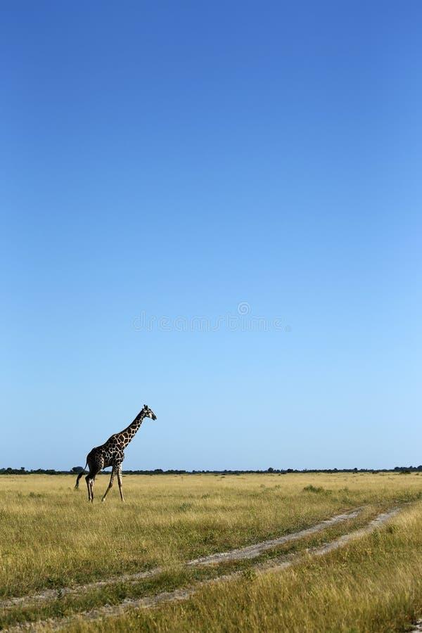 Resa av giraffet på slättarna royaltyfria foton
