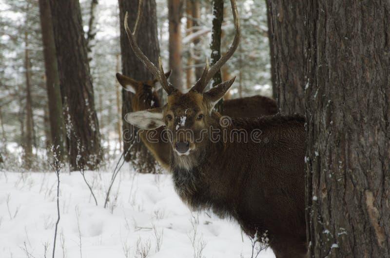 Resa till och med Sibirien roliga hjortar arkivbilder