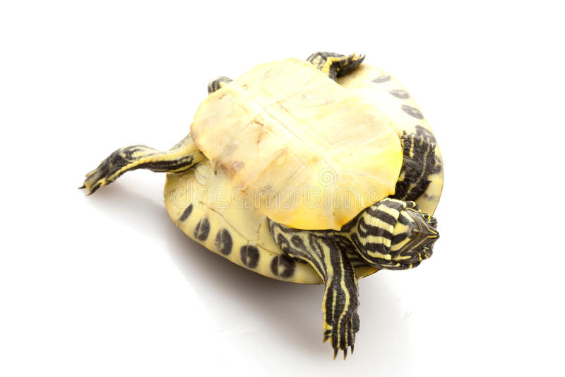 Resbalador Yellow-bellied imagen de archivo libre de regalías