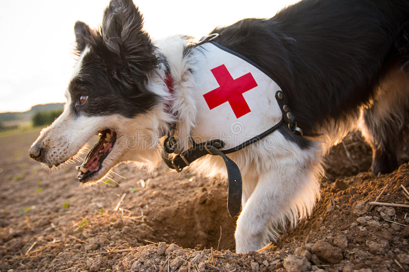 Rescue border collie dog outside. royalty free stock photography